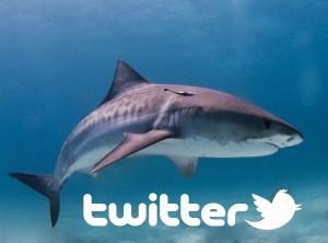 requin tigre twitter australie